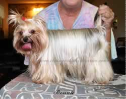 Adult Yorkies For Sale