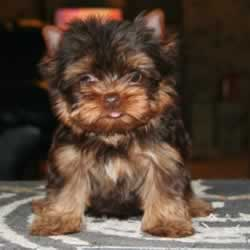 Information About Chocolate Yorkies Elvis Yorkshire Terrier