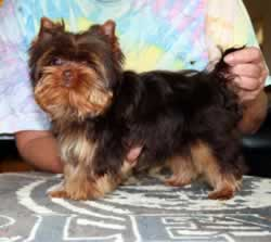 Yorkie Puppies For Sale In Paducah Kentucky | Dog Breeds Picture