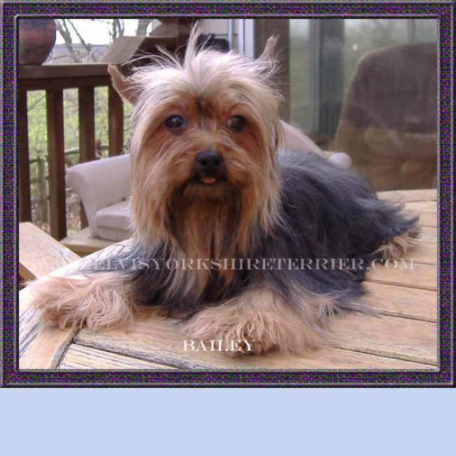 Baily - Female Teacup Yorkie Breeder