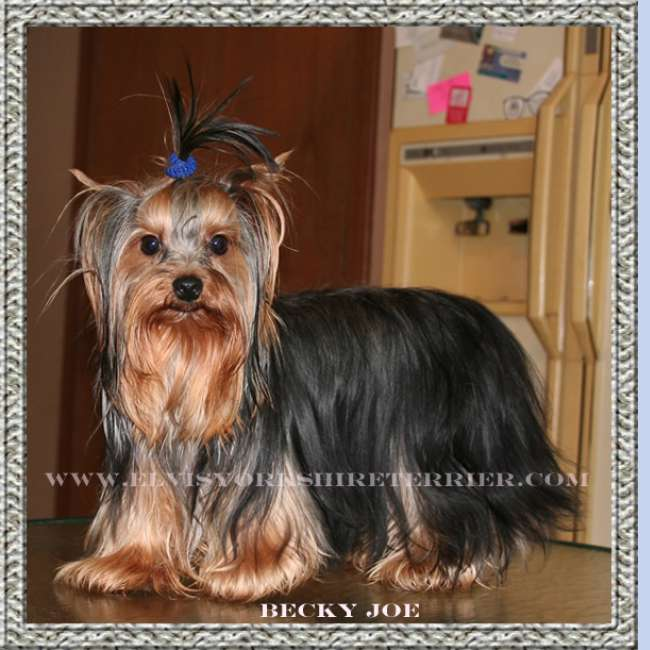 Becky Joe - Female Teacup Yorkie Breeder