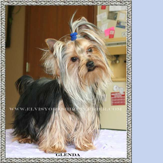 Female Teacup Yorkie Breeder