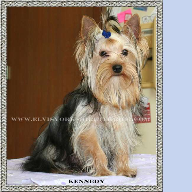 Kennedy - AKC Female Teacup Yorkie Breeder