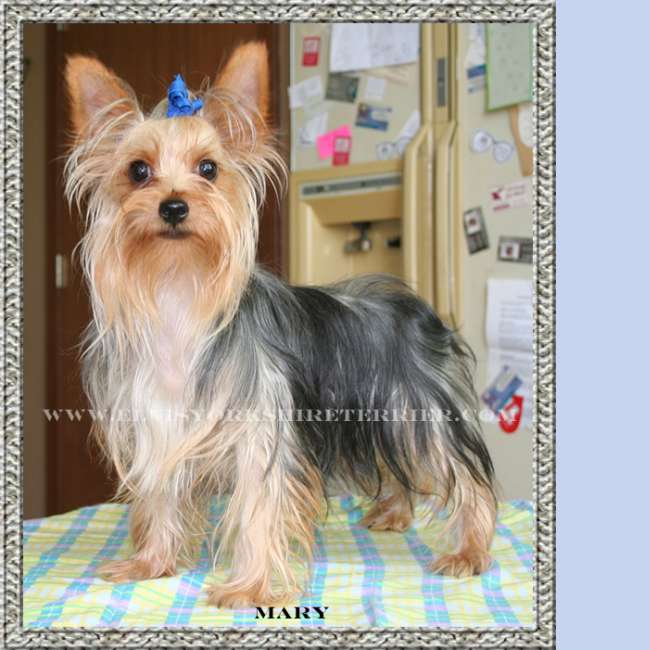 Mary- AKC Female Teacup Yorkie Breeder