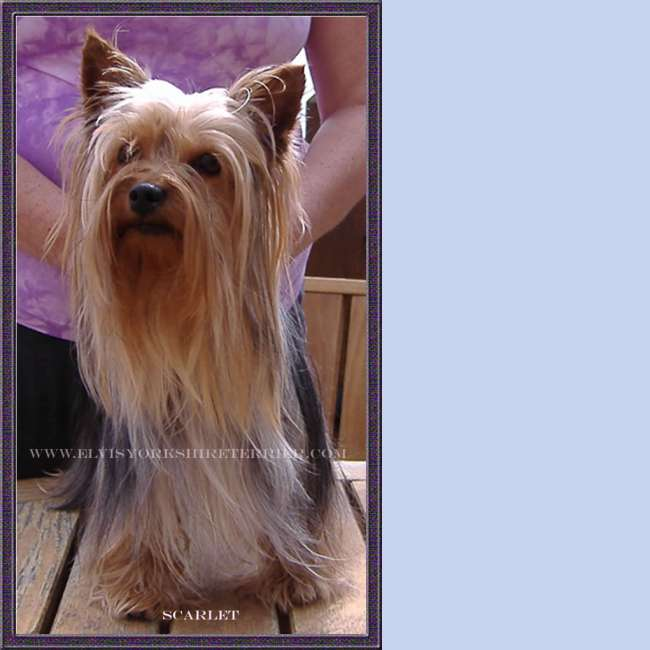 Scarlet - AKC Female Yorkshire Terrier, Teacup Yorkie Breeder
