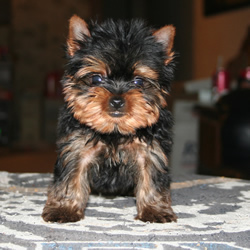 Information About Teacup Yorkies