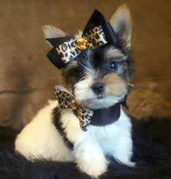 Parti Yorkie that is representative of our Parti yorkies for sale.