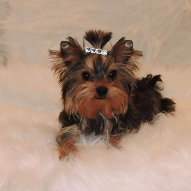 golden yorkie puppies yorkies for sale purchase golden puppy sky 9253