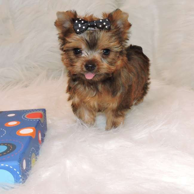 Golden Yorkie Puppy For Sale Patrick Teacup Yorkies Sale