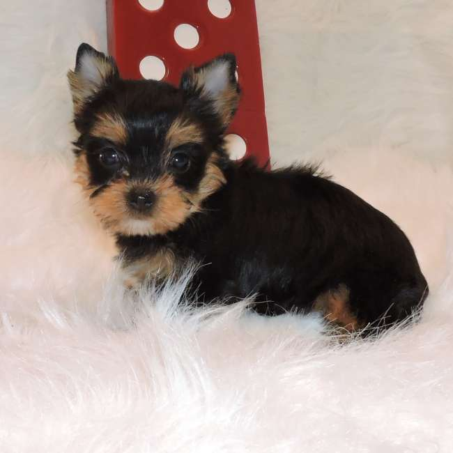 Related Pictures Teacup Yorkshire Terrier Yorkie Puppies Available Now ...