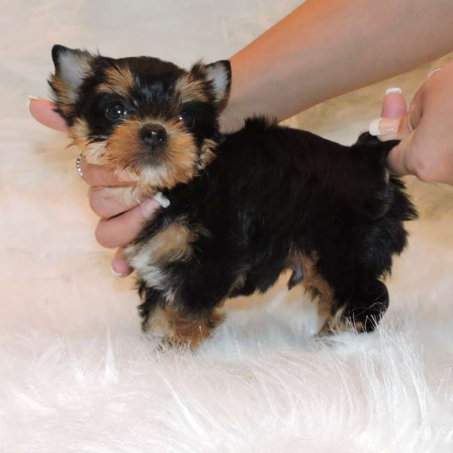 Male Teacup Yorkie Puppy Chase - Yorkie for Sale