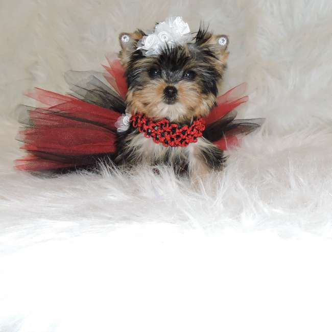 Get Micro Teacup Yorkie Puppy Hillary Yorkies For Sale