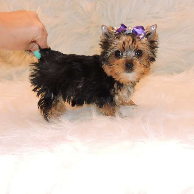 yorkie terrier mini mini yorkshire terrier puppy for sale jessie teacup 1272