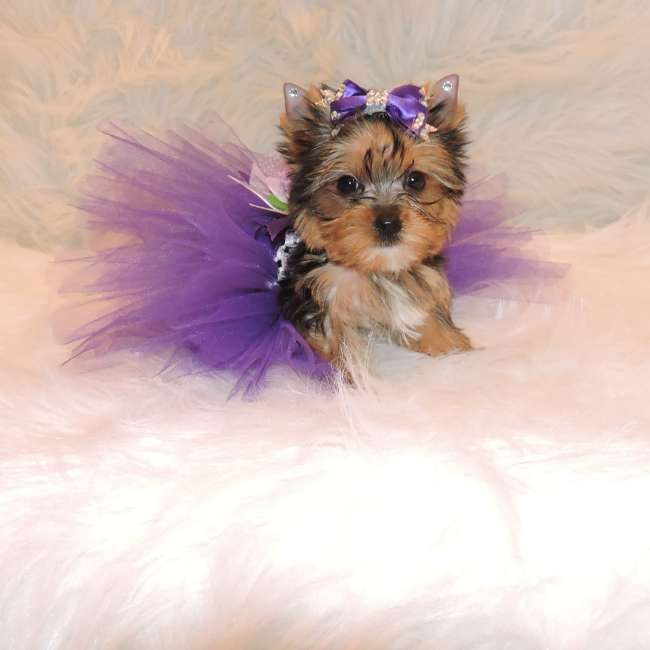 Mini Yorkshire Terrier Puppy For Sale - Jessie Teacup Yorkies Sale
