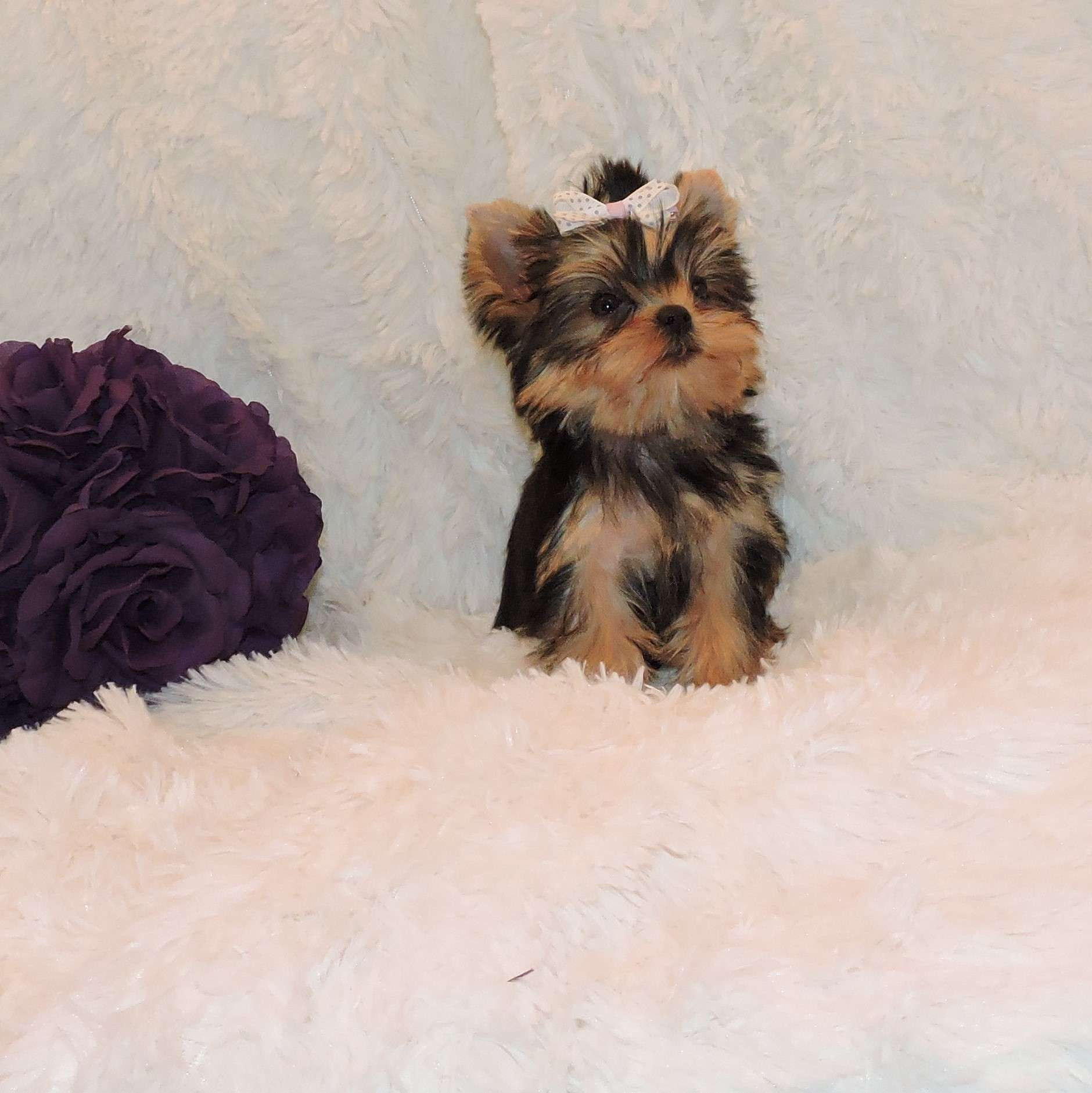 Baby Teacup Yorkie For