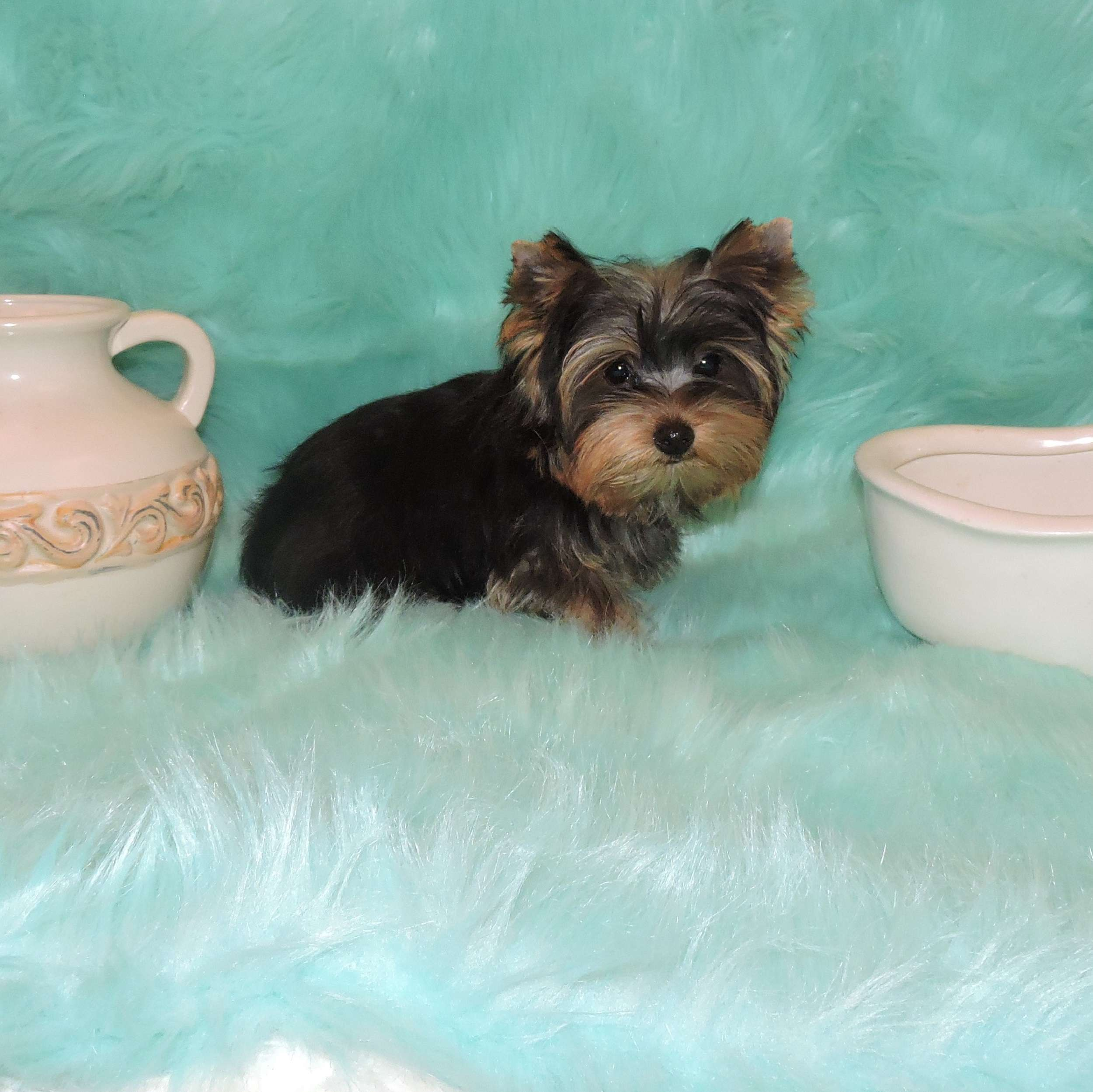 Boy Teacup Yorkie Names