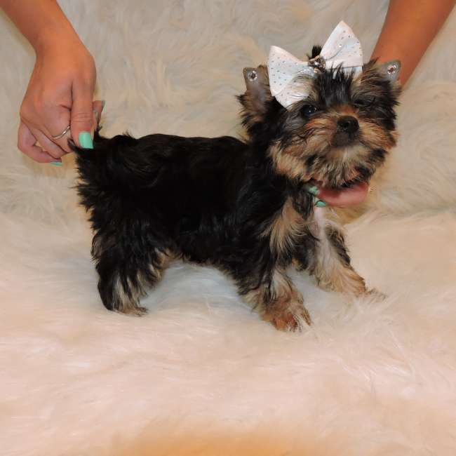 Toy Yorkie For Sale - Eden Teacup Yorkies Sale