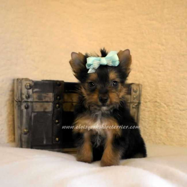 yorkshire terrier puppy for sale call name edward sorry this puppy