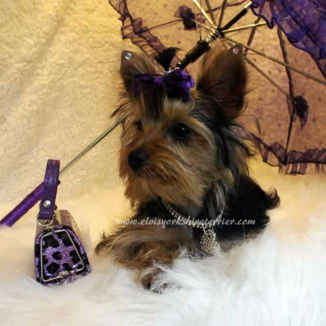 Hellen - Teacup Puppy - Elvis Yorkshire Terrier