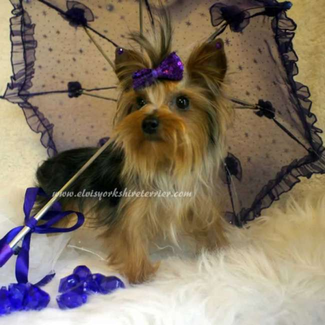 Yorkie Puppies For Sale In Paducah Kentucky To Download Yorkie Puppies ...