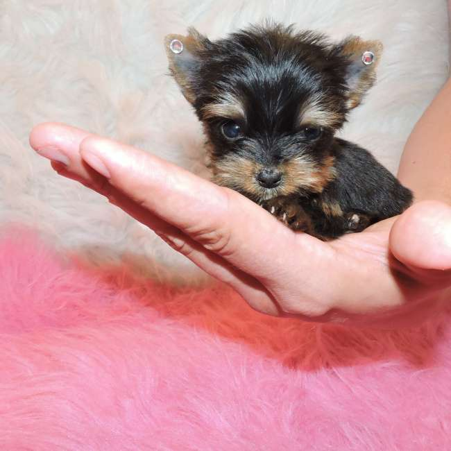 Extra Tiny Teacup Yorkie Puppy For Sale - Doll Teacup ...