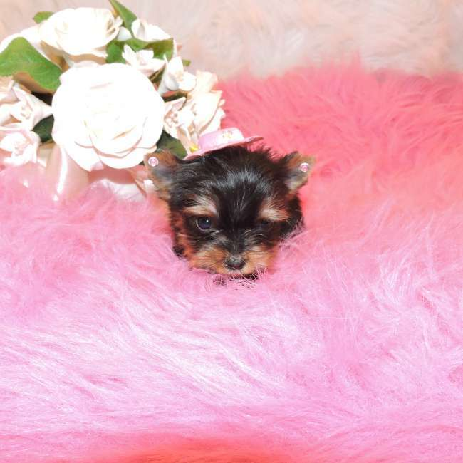 Extra Tiny Teacup Yorkie Puppy For Sale Doll Teacup