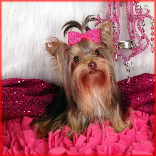 Yorkies For Sale Buy Teacup Chocolate Yorkie Puppy Sassy Butt