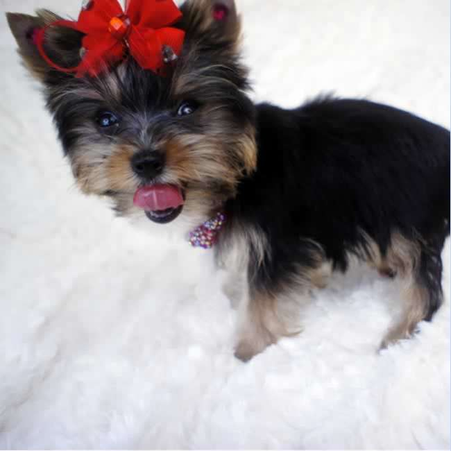 Yorkie Puppies For Sale Houston Texas