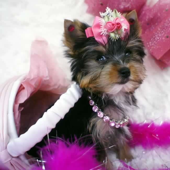 Yorkies For Sale Female Micro Teacup Yorkie Pup Tiny Mindy