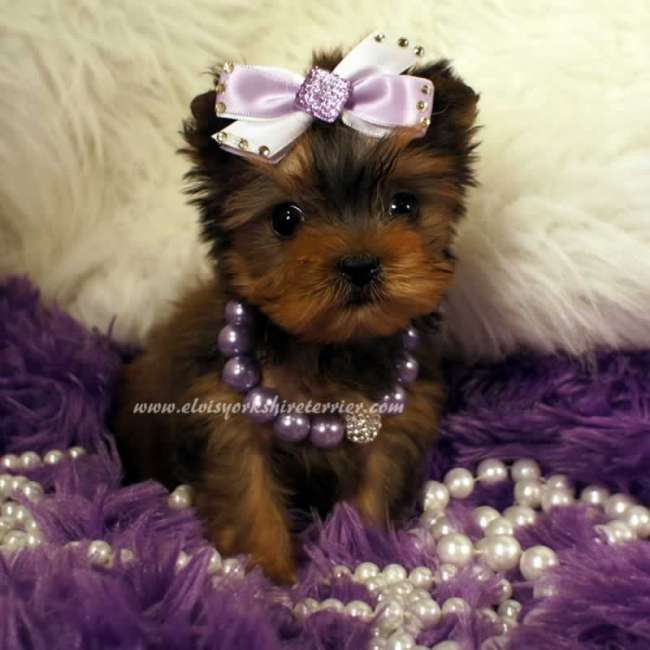 Female AKC Teacup Golden Yorkshire Terrier Puppy For Sale - Marsha