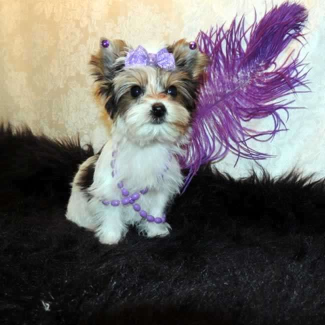 Yorkies For Sale Buy Teacup Parti Yorkie Pup Little Annie