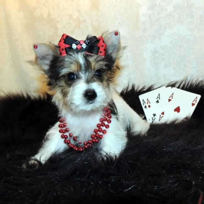 Yorkies For Sale Buy Parti Yorkshire Terrier Puppy Madlin