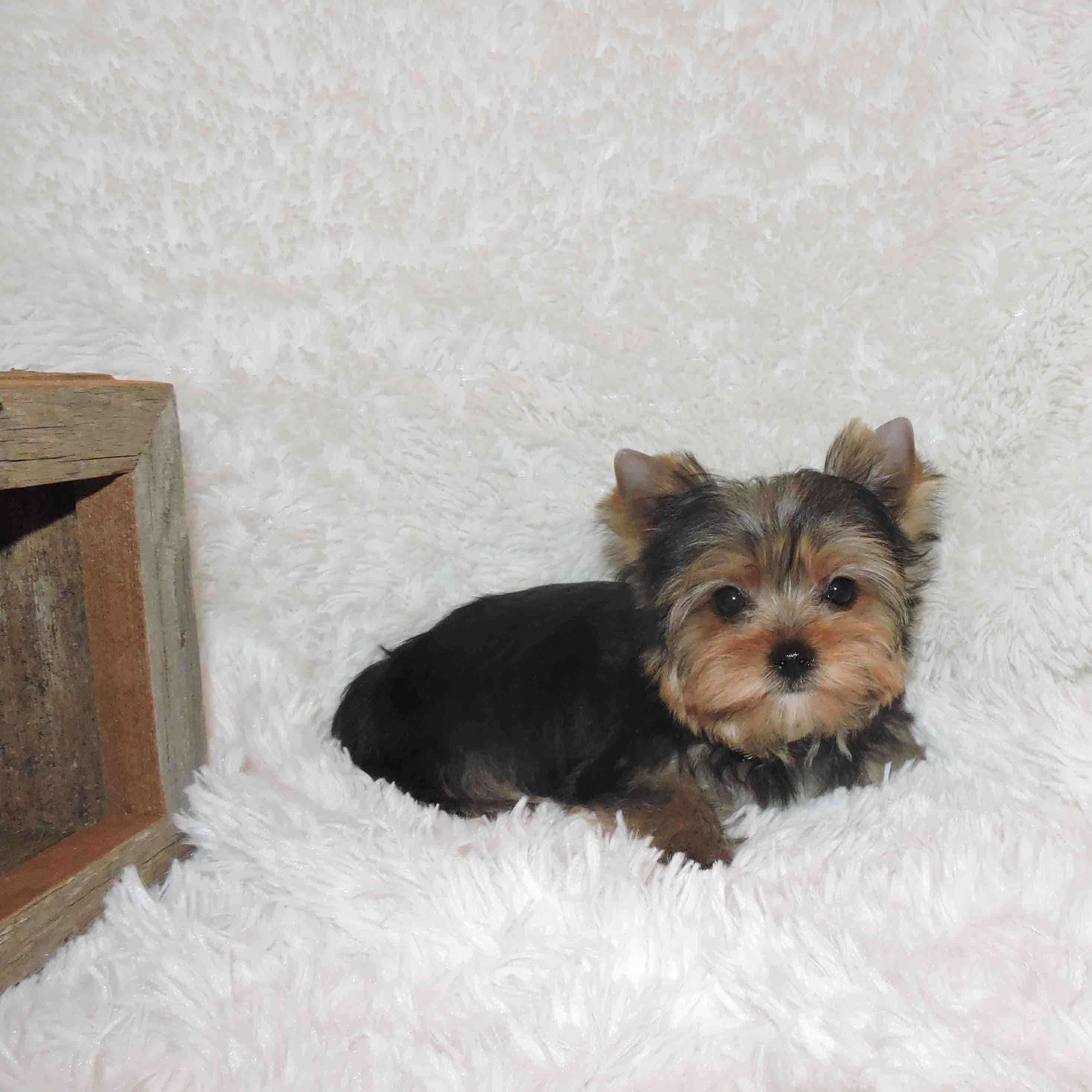 Micro Teacup Yorkshire Terrier Male Puppy For Sale - Buy -2026