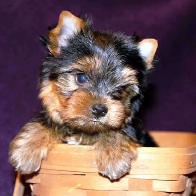 Yorkies For Sale Adopt Male Puppy Oliver