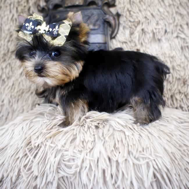 Micro Teacup Yorkie Yorkshire Terrier