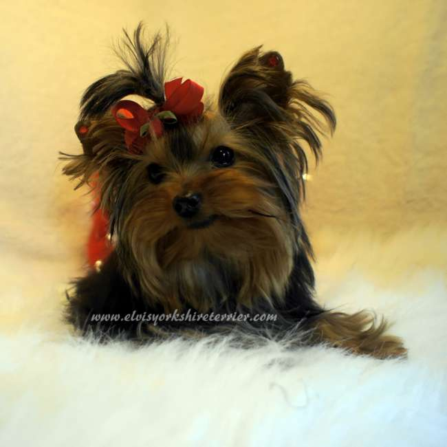 parti yorkies for sale akc yorkshire terrier puppies teacup rachael edwards
