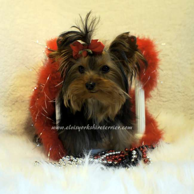 Related Pictures Micro Teacup Size Yorkie Puppies For ...