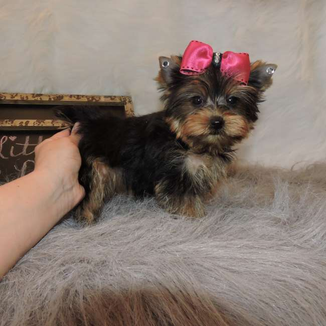 Toy Yorkshire Terrier Breeders – Wow Blog