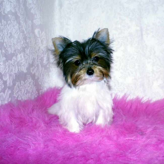 Get Teacup Parti Yorkie Carry - Yorkies For Sale