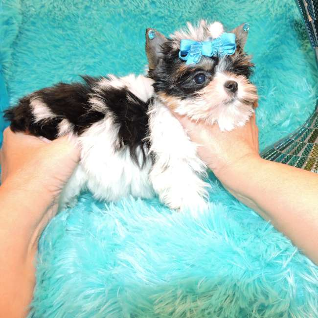 Parti Yorkies For Sale Teacup Babydoll Parti Yorkie Little Mindy