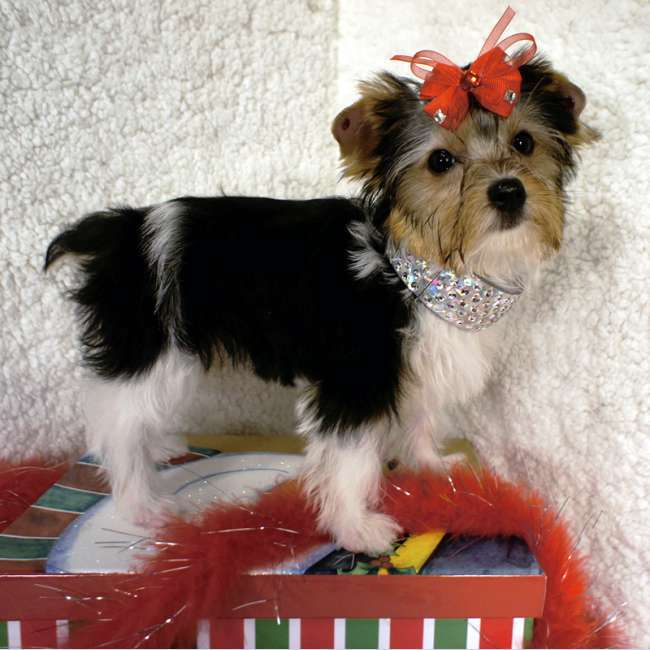party yorkshire terrier female akc parti yorkshire terrier for sale lily 2610