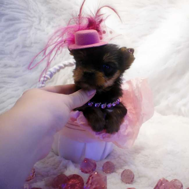 Yorkies For Sale - Teacup Yorkie Shelby - Chocolate Carrier
