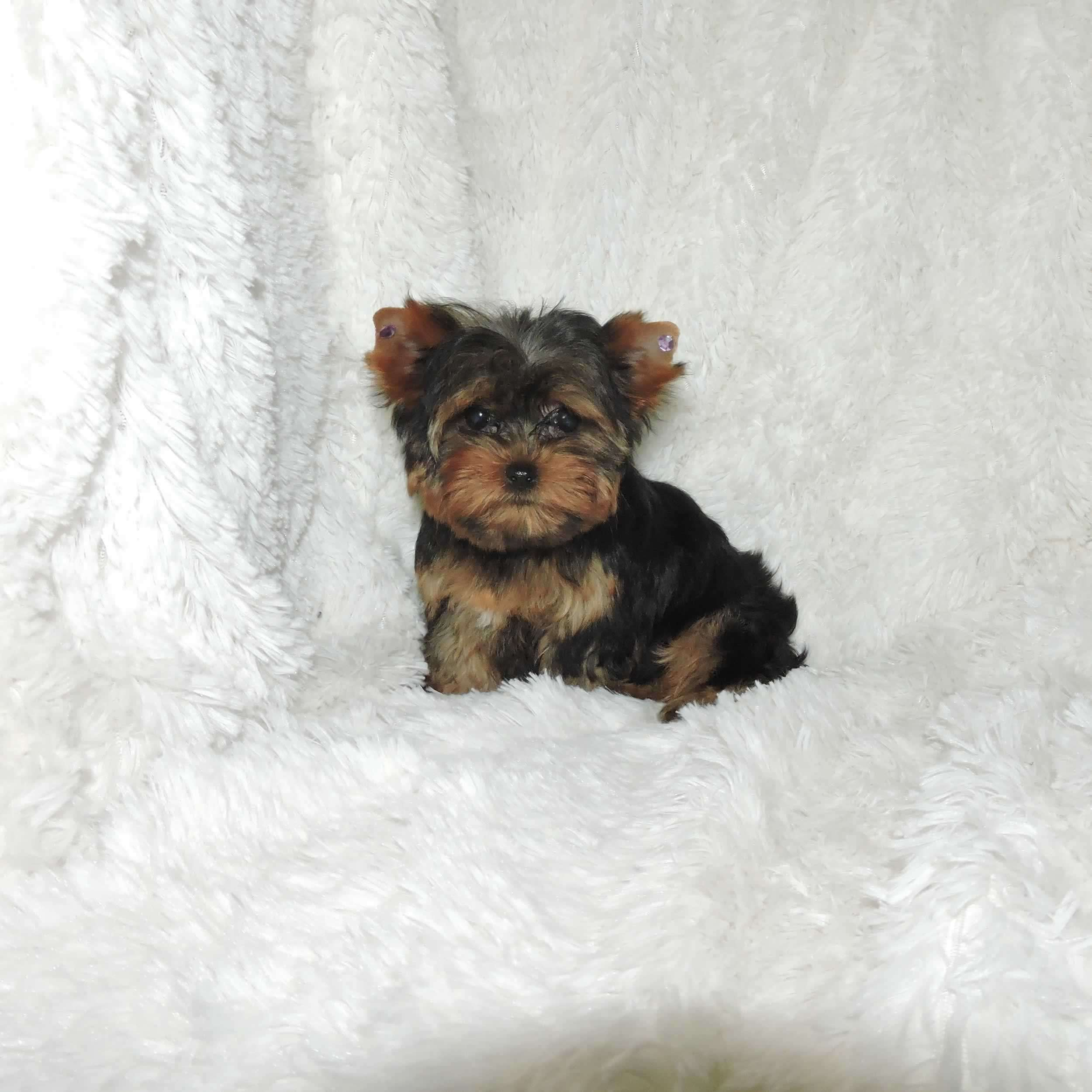 Yorkshire Terriers For Sale Buy Teacup Yorkie Abigail