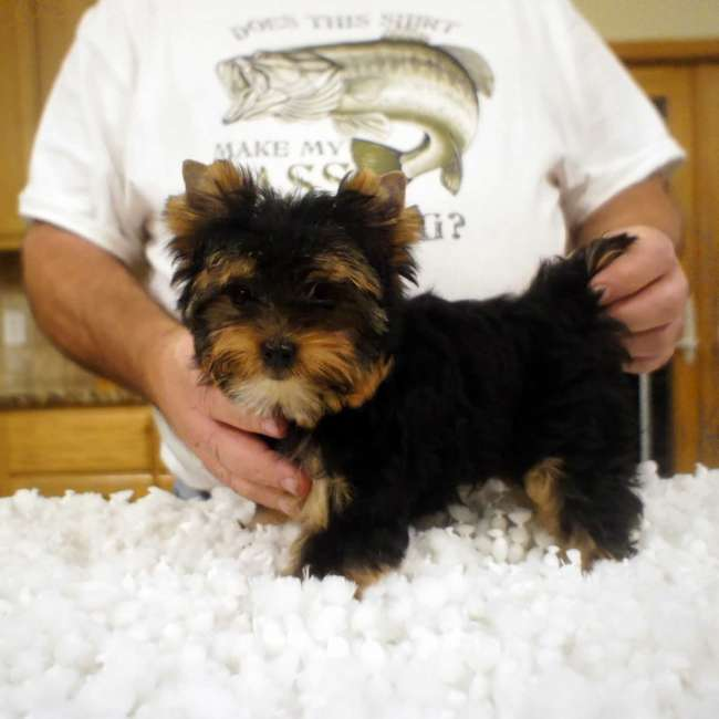 Small Male Yorkie Pup For Sale Brett Teacup Yorkies Sale