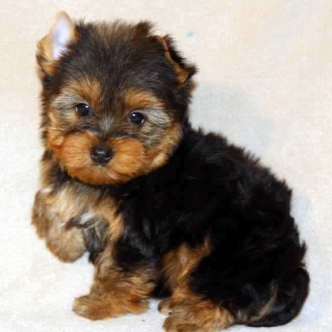 Small Yorkie Puppy For Sale - Presley Teacup Yorkies Sale
