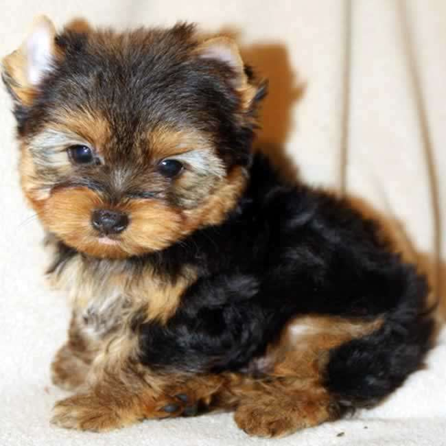 Yorkies For Sale Buy Small Yorkie Puppy Presley