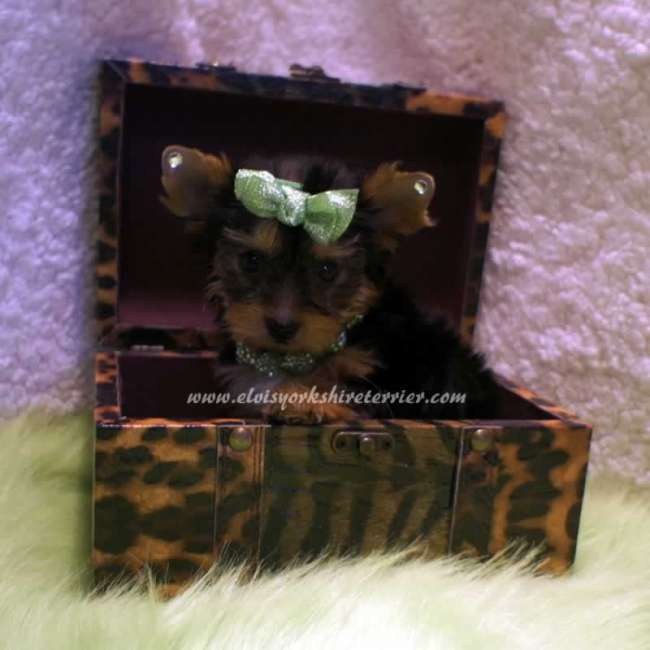 Teacup Parti Yorkies For Sale Texas Dog Breeds Picture