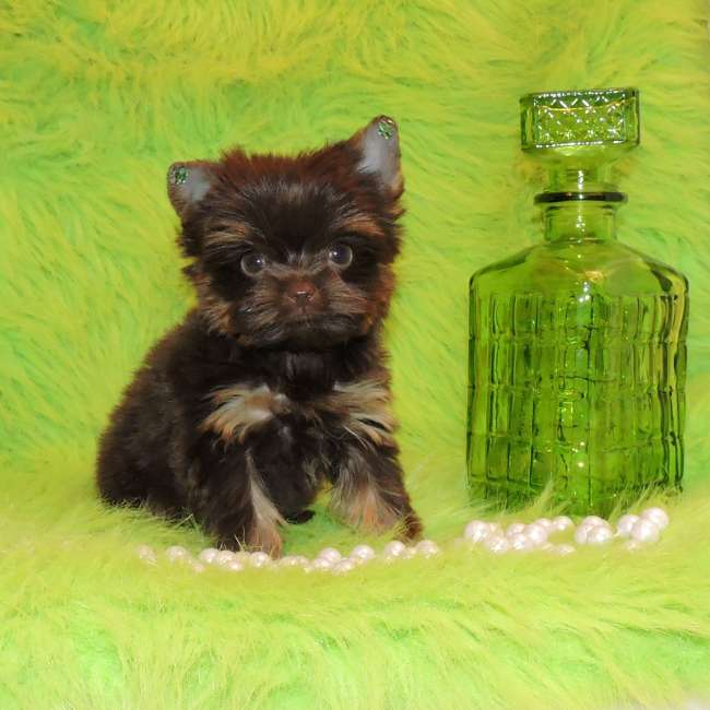 Yorkies For Sale Get Teacup Chocolate Yorkie Tiny Cassy