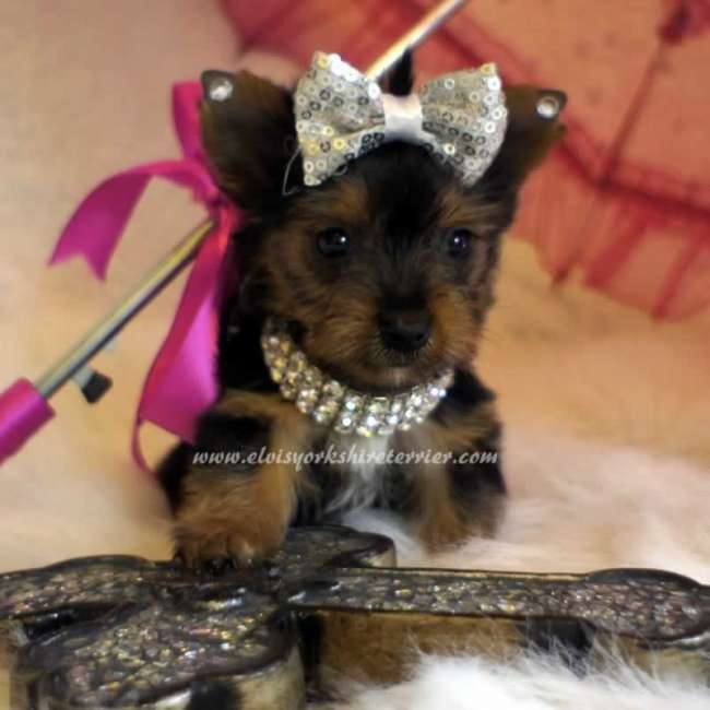 Erin - Teacup Yorkie Pup For Sale
