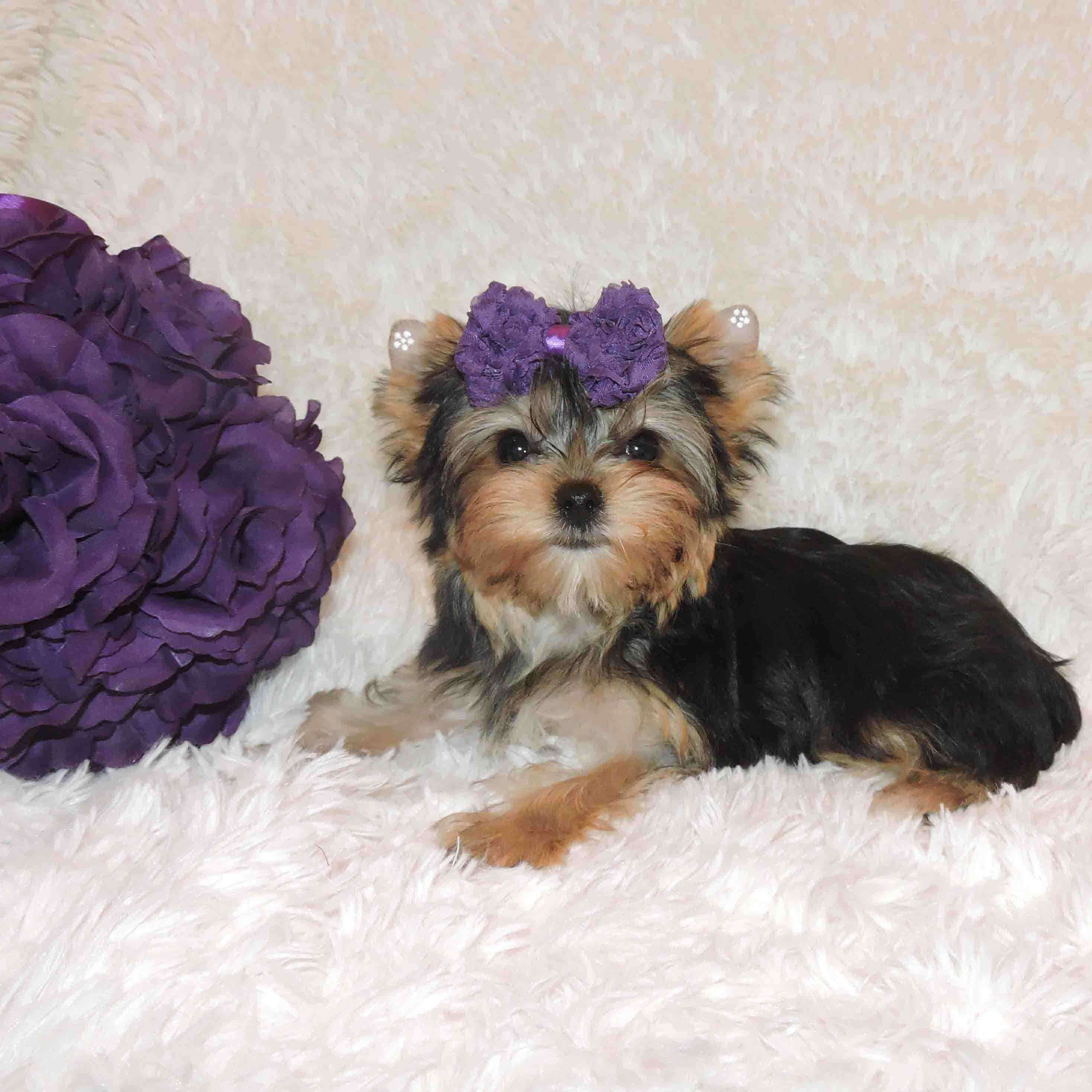 where can i buy a teacup yorkie tiny teacup yorkie for sale buy tiny yorkie nala 1761